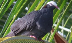 Pigeon couronne blanche-Guadeloupe_2