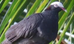 """Caribaea Initiative soutient un second projet de recherche Le projet de recherche de Christopher Cambrone s'intitule """"Détection de deux espèces de pigeon du genre Patagioenas en Guadeloupe: comparaison entre la méthode d'écoute passive et la méthode dite de la « repasse »"""". © Anthony Levesque"""